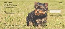 Playful Yorkies